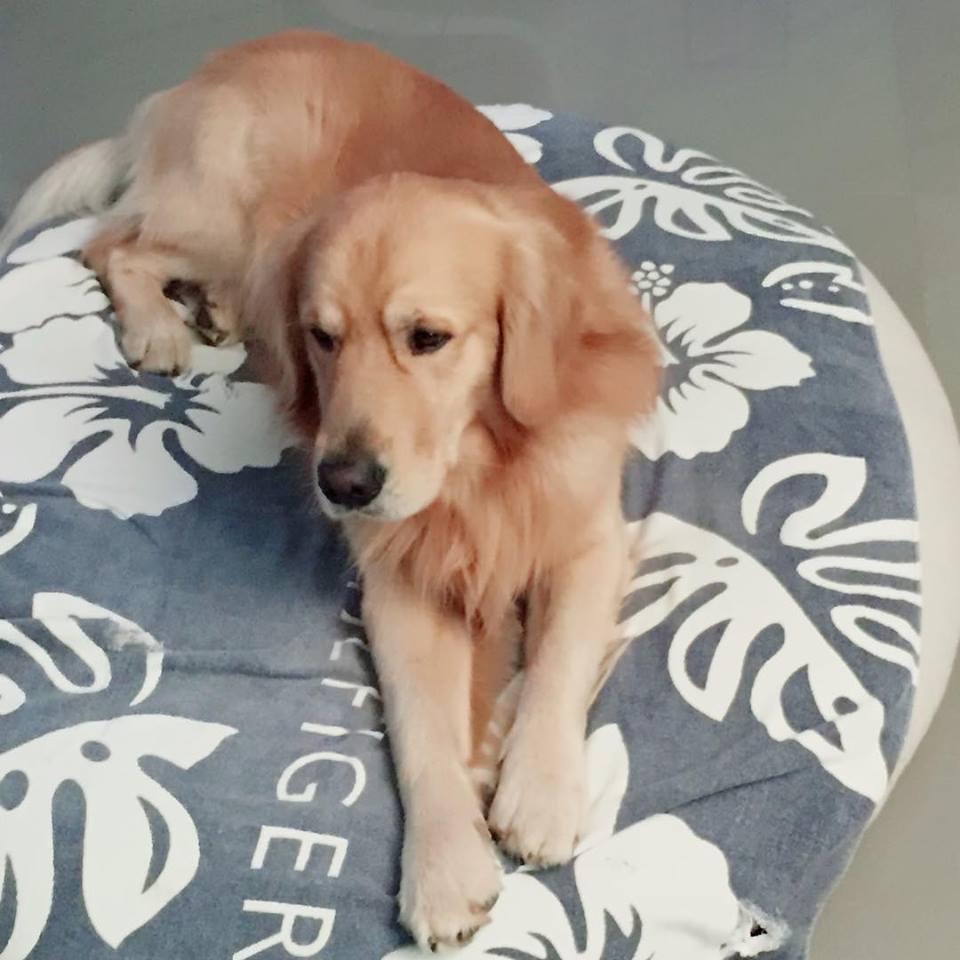 dog sitter golden retriever casalecchio di reno